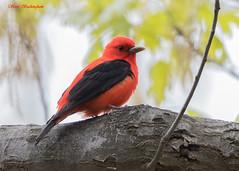 Scarlet Tanager (sbuckinghamnj) Tags: bird songbird garretmountain garretmountainreservation newjersey tanager scarlettanager