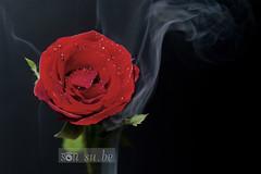 Burning Rose (SouSuBe) Tags: life red black hot art rose photography still fine smoking backdrop chaya pondicherry prakruti soumyasumitrabehera sousube