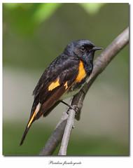 Paruline flamboyante / American Redstart IMG_8245 (salmo52) Tags: birds oiseaux warblers americanredstart setophagaruticilla paruline parulineflamboyante salmo52 alaincharette
