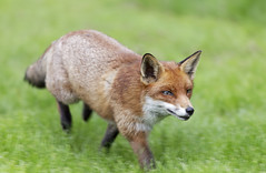 Fox (chubbster) Tags: wildlife centre may surrey richard british bwc newchapel huckle 2013 chubbster