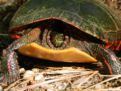 Nesting Painted Turtle (Christine_Ray) Tags: new pine forest state reserve national jersey pinelands barrens belleplain belleplaincapemayandparvin capemayandparvin