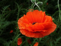 poppies 021 (cellocarrots) Tags: poppies