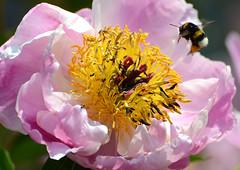 Pfingstrose (karinrogmann) Tags: peony bee ape biene pfingstrose peonia abigfave