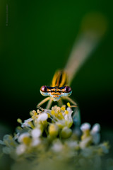 En garde (Dominic Cristofor) Tags: macro insect nikon noflash nikkor damselfly odonata zygoptera 150mm whiteleggeddamselfly 105mmf28gvrmicro platycnemispennipes kenko14x d700 bluefeatherleg