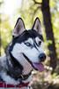Athena (Gertrude139) Tags: blackandwhite dog bush husky siberianhusky sibe bieyed