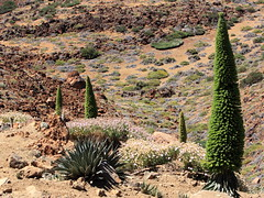 The another world (Sergei Golyshev (1 000 000+ THANKS!!!)) Tags: park red plant nature ecology landscape islands spain rojo desert mount alpine national corona caldera tenerife canary endemic volcanic teide arid echium forestal tajinaste   wildpretii bugloss towerofjewels
