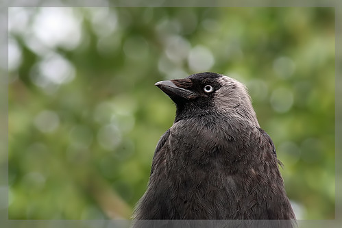 "Young Jackdaw  ""Explored "" :-)"