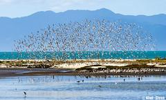 Wrybills (Kiwi~Steve) Tags: newzealand bird birds nikon nz northisland miranda firthofthames wrybill nikond90