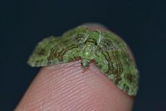 Green Pug, Pasiphila rectangulata (Nano Second Artist) Tags: macro green nikon moth pug sigma 150mm pasiphila rectangulata d3100