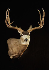 "Mule Deer By Animal Art Taxidermy • <a style=""font-size:0.8em;"" href=""http://www.flickr.com/photos/27376150@N03/9350727315/"" target=""_blank"">View on Flickr</a>"