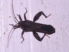Longhorned beetle (Dis da fi we) Tags: beetle puntagorda toledo belize hickateebelize hickateepuntagorda jungle rainforest forest wildlife culture cottages hickatee