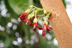 Averrhoa bilimbi - Komkommerboom - Botanische tuin Delft (Ruud de Block) Tags: oxalidaceae averrhoabilimbi botanischetuintudelft komkommerboom botanicalgardentechnicaluniversitydelft ruuddeblock