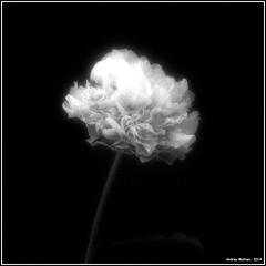 Pione. Minolta X-700, Konica VX400. (Andrey Maltsev) Tags: flowers bw flower nature beautiful flora minolta minoltax700 blumen scan scanned fiori vivitar developing x700 bwfilm 1hour greatshots minoltadimagescandualiv 13536 softfilter excellentsflowers exquisiteflowers minolta1750mm vivitarsoftii