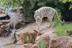 Panthera tigris (carlos mancilla) Tags: whitetiger zoos pantheratigris tigreblanco zoológicos canoneos700d ef70300mmf456lisusm canoneosrebelt5i