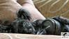 My Puppy (joseph.topacio) Tags: sleeping dog yorkie puppy joseph eos 50mm yorkshire philippines couch poodle 28135mm ultrasonic topacio yorkiepoo imagestabilizer 650d t4i eflens imuscity josephtopacio