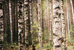 fine young men (Liis Klammer) Tags: trees film analog 35mm estonia bokeh birch zenit eesti zenitet meenikunno
