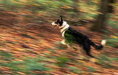 Herbstspaziergang (22) (Basinbah) Tags: dog mountain motion blur collie shot action shepherd german bernese rala