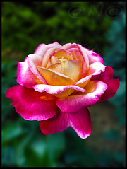 ▲ ★•►the last october rose◄•★▲ (MissAna(Thank you kindly for over 350K View's!)) Tags: blinkagain ringofexcellence exceptionalflowers rose allnaturesparadise fantasticflower ngc