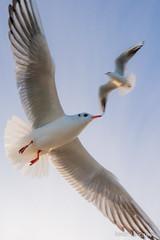 no fish (Nolas Kasof) Tags: blue sky flying seagull gull himmel mwe mwen lachmwe kasof