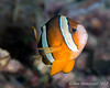 Amphiprion clarkii (Clark Anemonefish) - Banda Sea, Indonesia