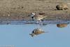 Wilsons Plover (hogsas) Tags: bird peru birds plover shorebirds shorebird plovers tumbes wilsonsplover charadriuswilsonia peruvianimages peruvianbirds bocapan