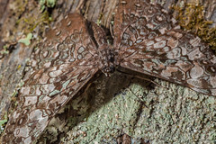 Borboleta - camuflagem (mcvmjr1971) Tags: macro brasil butterfly insect sopaulo nikond50 sp inseto borboleta hamadryas camuflage februa