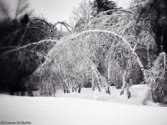 When I see birches bend (Diana Lynn2) Tags: trees winter snow ice seasons maine robertfrost storms birches