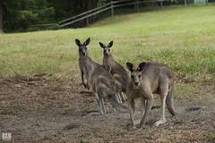 A kangaroo family (BAN - photography) Tags: country meadow pasture kangaroos fiels goldcoast hinterland