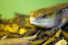 """Skink head • <a style=""""font-size:0.8em;"""" href=""""http://www.flickr.com/photos/30765416@N06/12160341276/"""" target=""""_blank"""">View on Flickr</a>"""