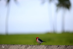 Tiny red bird, Oahu TK9A9943-2 (lycheng99) Tags: ocean red bird grass hawaii oahu palmtree redbird tropicalbirds mygearandme mygearandmepremium mygearandmebronze mygearandmesilver tinyredbird