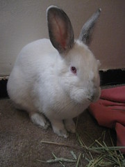 Valentina (mydemandlist) Tags: pet pets rabbit bunny bunnies rabbits valentina 2014