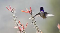 Costa's Hummingbird -- Male (Calypte costae); Catalina, AZ [Lou Feltz] (deserttoad) Tags: arizona flower bird nature hummingbird desert flight wildbird