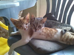 DSC_0011 (el_visigodo) Tags: cats cat ecuador felix gatos gato gata katze katzen 2014 guayas naomy elvisigodo provinciadelguayas sonyericssonxperianeov
