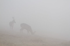 Shapes in the Fog ([[BIOSPHERE]]) Tags: uk mist nature fog leicestershire wildlife deer fallow bradgatepark