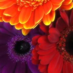 nature's kaleidoscope (saudades1000) Tags: flowers flores fleurs colorful kaleidoscope bouquet printemps colorido gerberadaisy