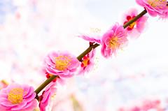 ume '14 - plum blossoms #6 (Jounan-gu shrine, Kyoto) (Marser) Tags: flower japan kyoto shrine raw plum  gr ume ricohgr lightroom  grd