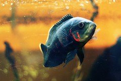 bob the fish (peculiarnothings) Tags: fish water swim tank aquatic