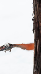 Outta Here (phoca2004) Tags: colaptesauratus klamathbasin northernflicker oregon redshaftednorthernflicker winterwingsfestival klamathfalls unitedstates us bird birds