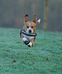 Mid air (Bob@langold) Tags: alfie beagle dog march 2017