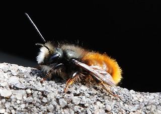 Little Wild Bee