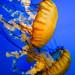 Pacific sea nettle 15 - National Aquarium