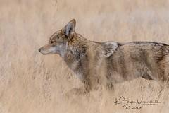 DSC_0833 (bryce yamashita) Tags: d500 nikon wildlife yamashita coyote