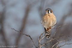 Bird in the bush (rdroniuk) Tags: birds raptors birdsofprey falcons kestrel americankestrel falcosparverius oiseaux rapaces oiseauxdeproie crécerelledamérique