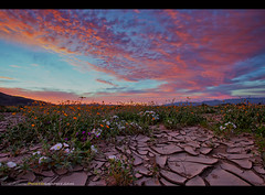 """""""Crack of Dawn"""" (Sam Antonio Photography) Tags: anzaborregostatepark desert wildflowers nature landscape sunrise travel superbloom flowers cracked mud texture colorful clouds plant usa spring flower blooming bloom scenic sky wilderness field vegetation outdoors seasonal beauty dramatic blossom vibrant orange borrego picturesque tourism vacation destination beautiful attraction environment exotic view tranquil samantoniophotography"""