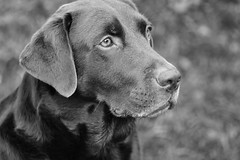 Larry the Labrador (hayleykathleenjones) Tags: labrador chocolate black white cute photography