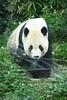 動物園_372 (Taiwan's Riccardo) Tags: 2014 taiwan digital color dslr nikond600 nikonlens afs nikkor zoom 18200mmf3556 vr 台北市 木柵 動物園 熊貓 panda 團團