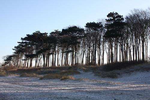 Kiefern und Buchen am Strand