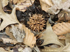 Sweetgum Seed Cluster (Picsnapper1212) Tags: sweetgum tree ball fruit spines nature plant culbertsonnaturepreserve clintoncounty ohio