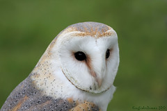 (5 of 6) (KingfisherDreams) Tags: birdofprey barnowl owl raptor predator tytoalba tytonidae