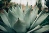 Agave (Chelsea Victoria Photo) Tags: agave plant succulent grow prick love